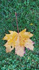 Old and New (grinnin1110) Tags: mainz autumn de deutschland herbst germany overcast fortweisenau mapleleaf fallfoliage flora ahornblatt volkspark rainy afternoon outdoors flatlight rheinlandpfalz europe rhinelandpalatinate leaf