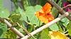 1032 Nasturtium behind bars (Andy - Busy Bob) Tags: flower nasturtium orange leaves balcony bbb lll nnn ooo fff greenery ggg