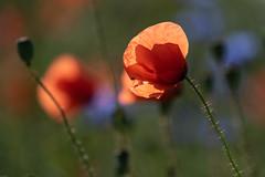 Mohn (heitabu50) Tags: mohn sommer kornfeld kornblumen kamille farben rot blau grün natur wildpflanzen