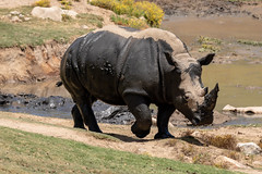 Black or White? (thisbrokenwheel) Tags: rhinoceros endangered mammal rhino safaripark whiterhino zoo mud conservation sandiego horn