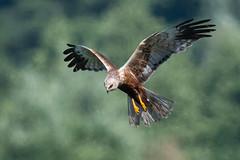 Marsh Harrier (male) June 2018 (jgsnow) Tags: purple bird raptor harrier marshharrier male