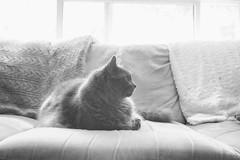 Ignoring You (flashfix) Tags: june242018 2018inphotos ottawa ontario canada nikond7100 28mm flashfix flashfixphotography kittynose fyero nebelung ragamuffin ragdoll fluffy graycat monochrome blackandwhite yp