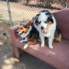 Reggie & Buddy (jmhull.LA) Tags: dogs dog corgi australianshepherd redondobeachdogpark dogpark redondobeach