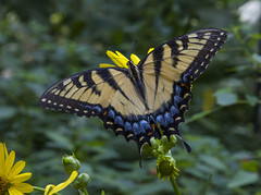 Eastern Tiger Swallowtail, female (Papilio glaucus) (AllHarts) Tags: femaleeasterntigerswallowtailpapilioglaucus spac hollyspringsms naturescarousel ngc npc