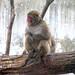Minnesotta Zoo 12-20-2014 - Snow Monkey 1