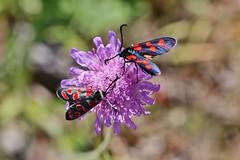 Widderchen (Hugo von Schreck) Tags: hugovonschreck canoneos5dsr macro makro insect insekt moth butterfly schmetterling widderchen tamron28300mmf3563divcpzda010