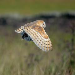Barn owl  (kerkuil) (moniquedoon) Tags: owl barnowl raptors springwatch bird birds vogel roofvogel feathers nature wildlife perfection coolbird forestofbowland bowland vole