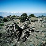 Bristlecone Pine thumbnail