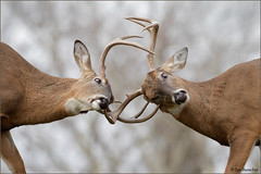 Whitetails Sparring (Jim Buescher Photography) Tags: whitetaileddeer antlers fighting cuyahogacounty bucks