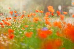Sprightly (Ans van de Sluis) Tags: 2018 ansvandesluis hortus june nijmegen bokeh bokehlicious botanical flora floral flower macro nature spring poppy poppies sprightly