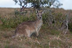 Eastern grey kangaroo (Mikey Down Under) Tags: animal australia australian clouds coast coffs dawn eastern grey headland icon kangaroo northcoast northern nsw sunrise wild wildlife woolgoolga