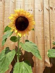fullsizeoutput_d62 (ulf.springer) Tags: peak district grindleford froggatt stoney middleton eyam leadmill sunflower sonnenblume