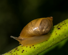 A slippery slope (Fred Roe) Tags: nikond810 nikonafsmicronikkor105mmf28 nature wildlife snail ambersnail macro peacevalleypark