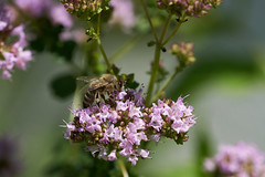 Sammelleidenschaft (Ernst_P.) Tags: aut inzing österreich tirol sigma macro 105mm f28 tier insekt biene bee abeja
