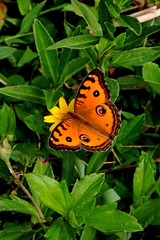 Butterfly.  Jewel of nature! (Uhlenhorst) Tags: 2016 indonesia indonesien bali animals tiere travel reisen