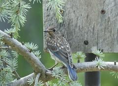 Juvenile Eastern Bluebird Female (Trish Overton) Tags: juvenileeasternbluebird female visiting bird birds