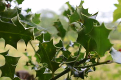 spiderweb in the holy (carmenpartington) Tags: holly spider web spiderweb detail focus fine softfocus ambleside walk lakedistrict rydal