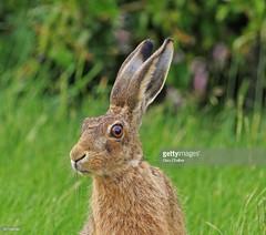 Hare (Gary Chalker, Thanks for over 3,000,000. views) Tags: mammal hare pentax pentaxk3ii k3ii pentaxfa600mmf4edif fa600mmf4edif fa600mm 600mm