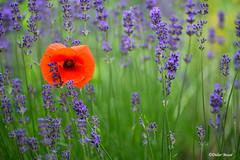 Coquelicot dans son écrin de lavandes (didier95) Tags: coquelicot lavande fleur fleurrouge fleurbleue rouge bleu nature