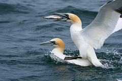 Piggyback! (Alex Srdic) Tags: uk yorkshire bempton gannet gannets diving bird birds fish boat sea dive bridlington lenspimp