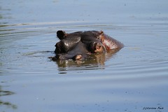 Hippopotame (Passion Animaux & Photos) Tags: hippopotame hippopotamus parc animalier auvergne france