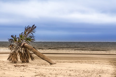 At the Beach of Hunting Island (-Der Franke-) Tags: canon eos 6d eos6d ef24105f4l ef 24105 f4 l united states america south carolina vereinigte staaten amerika sc hunting island state park strand beach palme palm tree baum meer sea sand