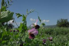 Lathyrus clymenum (Alberto Cameroni) Tags: lathyrusclymenum cicerchiaporporina fiore toscana pratovecchio casentino leica leicaxtyp113 fabaceae leguminose