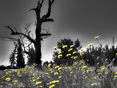 Deadwood (beelzebub2011) Tags: usa washingtonstate ferndale tree dandelions selectivecolor bw monochrome hdr highdynamicresolution