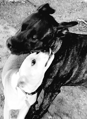 The Kiss (RasMarley) Tags: dogs dog park black white monroe new jersey photography photographer animals playing canine canines