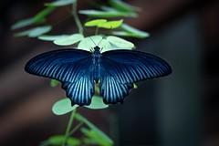 Alberich - Behind The Scenes (wowafo) Tags: schmetterling butterfly wilhelma stuttgart insekten insects macro natur nature sony alpha 6000
