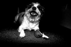 Throw my Ball (david11eiu) Tags: fetch play bobo spotlight light canon bw blackandwhite smile happy ball dog pet animal sport