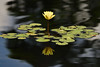 Life In Balance (WilliamND4) Tags: water lily yellow flower