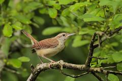 Carolina Wren (Greg Lavaty Photography) Tags: carolinawren thryothorusludovicianus texas june brazosbend statepark ftbendcounty birdphotography outdoors bird nature wildlife