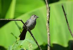 Gray Catbird by Jackie B. Elmore 7-7-2018 Lincoln Co. KY (jackiebelmore) Tags: dumetellacarolinensis graycatbird mimids lincolnco kentucky nikon7100 tamronsp150600f563 jackiebelmore kos
