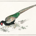 Green Pheasant illustration from Pictorial Monograph of Birds (1885) by Numata Kashu (1838-1901). Digitally enhanced from our own original edition. thumbnail