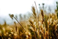 18:06:15 19:20:48.jpg (Lea Ruiz Donoso) Tags: pradera hierba heno dorados campos desenfocado abstracto agricultura amanecer amarillo color anochecer belleza naturaleza contraluz tranquilidad rural espacioenblanco flora planta onírico iluminado luz luzbrillante luzdelsol macro primerplano paisaje campo prado silvestre soleado puestadesol rayodesol salidadelsol semilla silueta sol tallo terreno verano learuizdonoso sony sonyαlphα
