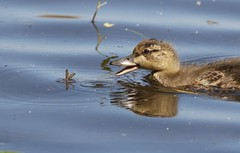 Meal on wings (Jeannine St-Amour Photography) Tags: bird waterfowl duckling mallard nature wildlife