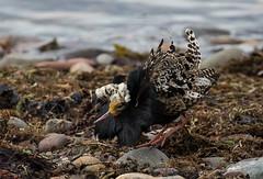 02 062018 (cathyk31) Tags: oiseau combattantvarié charadriiformes philomachuspugnax ruff scolopacidés bird
