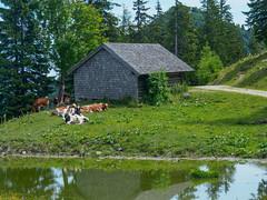 Walks on Zwoelferhorn-E7050076 (tony.rummery) Tags: animal austria cattle cow em10 mft microfourthirds omd olympus shed stgilgen water zwoelferhorn gemeindesanktgilgen salzburg at
