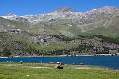 Lake Sils (Bephep2010) Tags: 77 alpen alpha berg frühling graubünden grisons himmel kühe lakesils landschaft maloja sal1650f28 slta77v schweiz see silsersee sony switzerland wasser wiese alps cows lake landscape meadow mountain sky spring water bregaglia ch