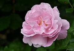 Weekend Rose (Eleanor (No multiple invites please)) Tags: coth5 rose pinkrose busheyrosegarden nikond7200 june2018 bushey uk