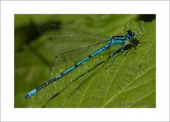 Azure Damselfly (Coenagrion puella) (prendergasttony) Tags: azure damselfly nikon d7200 tonyprendergast outdoors nature wildlife lancashire green leaf blue insect macro wings feet coenagrionpuella