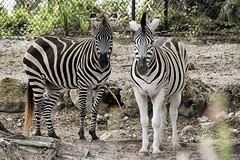 """psychedelic mini-horse"" (ucumari photography) Tags: ucumariphotography burchells quagga equusquagga animal mammal stripes naples florida fl zoo may 2018 dsc9689 damara plains zebra specanimal"