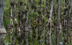 Big Cypress National Preserve (justenoughfocus) Tags: sonyalpha bigcypressnationalpreserve cypress everglades florida green landscapephotography reflections swamp trees unitedstates ochopee us