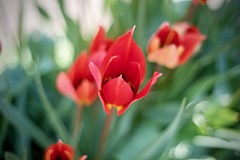 Tulip in the amazing Holland (albertoandaloro) Tags: flower green tulip spring blossom nature floral colorful beautiful background natural bloom plant field flora red color white summer petal pink leaf bright garden yellow beauty fresh outdoor bouquet season vibrant sunlight park purple romantic landscape tulips light decoration valentine springtime holland
