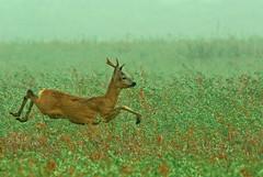 On the Run (fotofrysk) Tags: ree roedeer deer buck bok capreoluscapreolus grass dew morning fog natuur nature excursie excursion fryskegeanaturewalk fryskegeanatuurwandeling guideandriesdijkstra netherlands friesland fryslan stjohannesga stjansgea easterskarnaturereserve easterskarnatuurreservaat afsnikkor200500mm56eed nikond7100 201805202988