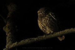 Little Owl (Ian Hufton Photography - Landscape & Wildlife) Tags: littleowl owl bird birdofprey wildlife wild kent
