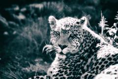 Leopard in Black and White (zenseas) Tags: africa bigcatrescue male bornfree southafrica africanleopard workingvacation workingholiday pantheraparduspardus bornfreesanctuary leopard httpswwwshamwaricomactivitiesbornfreebigcatsanctuarie vacation shamwari holiday rescued httpswwwshamwaricomactivitiesbornfreebigcatsanctuaries painting bw