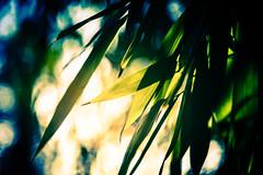 Bamboo Sun (NathalieSt) Tags: europe france hautsdefrance nikon nikond750 nikonpassion nikonphotography noyon oise picardie