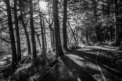 Infrared woodlands (John Campbell 2016) Tags: infrared infraredblackandwhite blackandwhite blackandwhitephotography black and white almondellcountrypark livingston westlothian scotland riveralmond longexposure longexposurescotland lensflare trees shadows woodlands woodlandpath